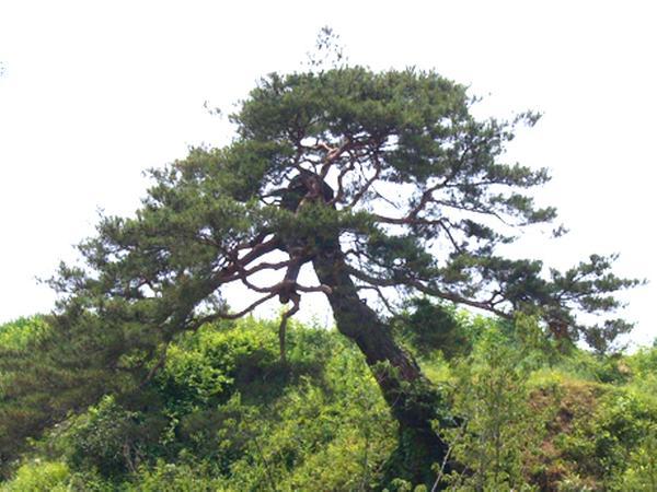 함양 개평리 소나무