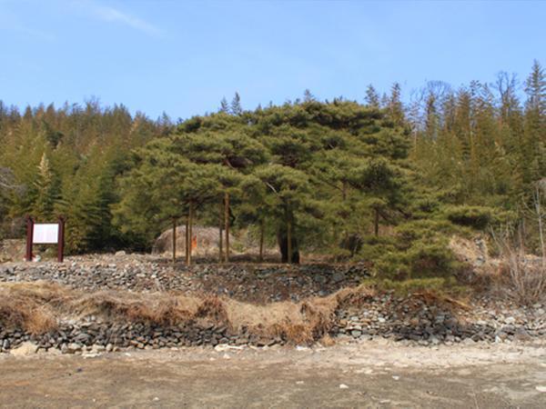 함양 도천리 소나무