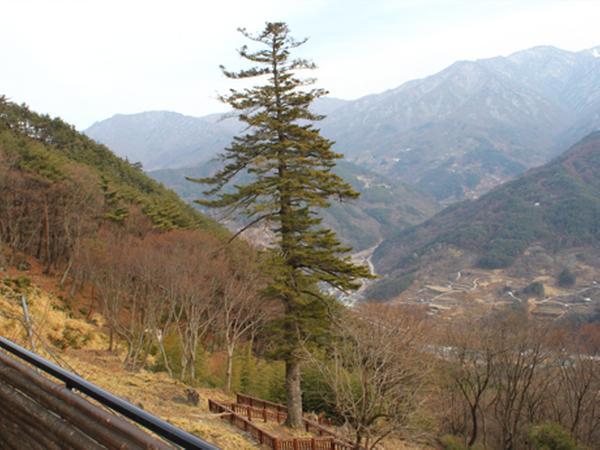 함양 금대암 전나무