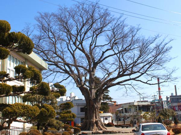 함양 학사루 느티나무