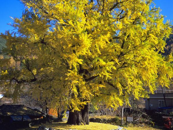 함양 운곡리 은행나무